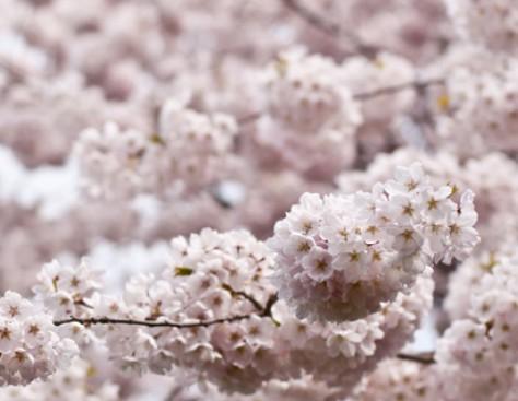 关于樱花你可能不知道的10件事.jpg