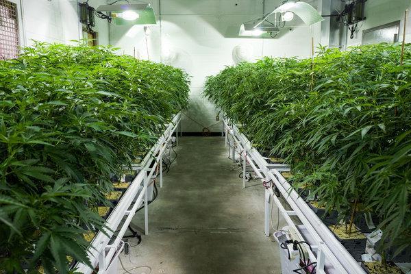中国工业大麻(1).jpg