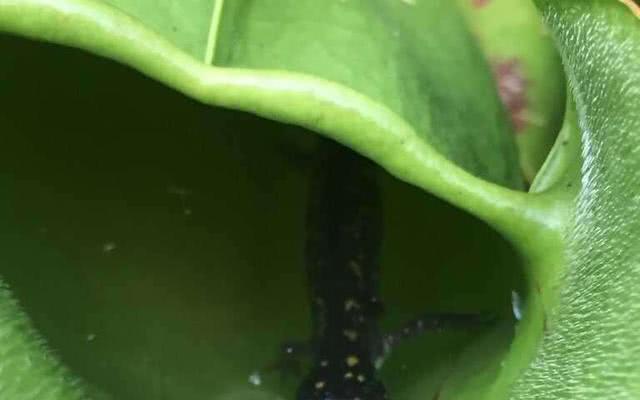 豬籠草里面有一只被困的蠑螈.jpg