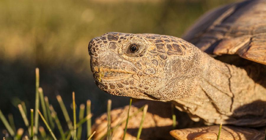 无人机用于保护沙漠地鼠龟.jpeg