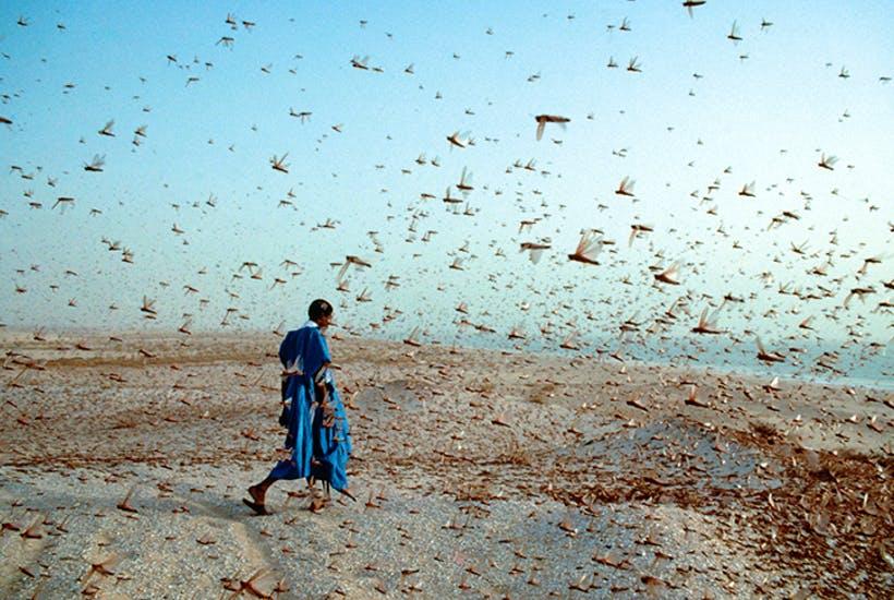 New-locusts.jpg