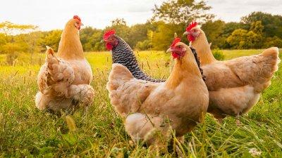 先有雞還是先有蛋的問題.jpg