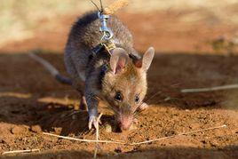 非洲巨鼠扫雷.jpg