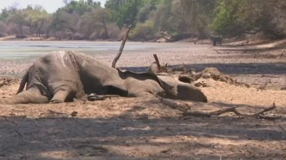 津巴布韦干旱致数百头大象死亡.jpg