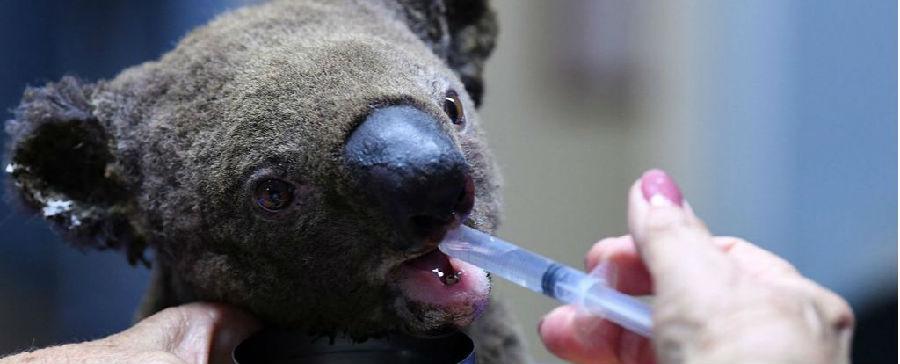 澳大利亚山火正在破坏考拉种群.jpg