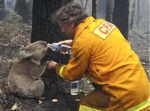 澳洲民众拯救考拉等物种.jpg