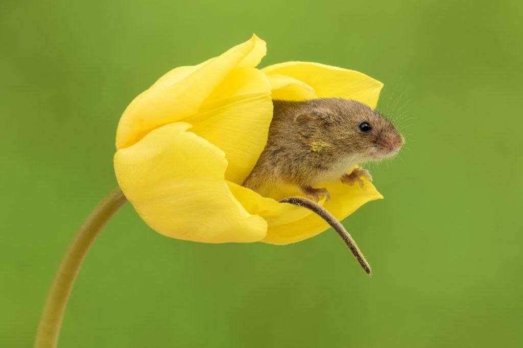 体积微小的巢鼠睡在花朵中.jpg