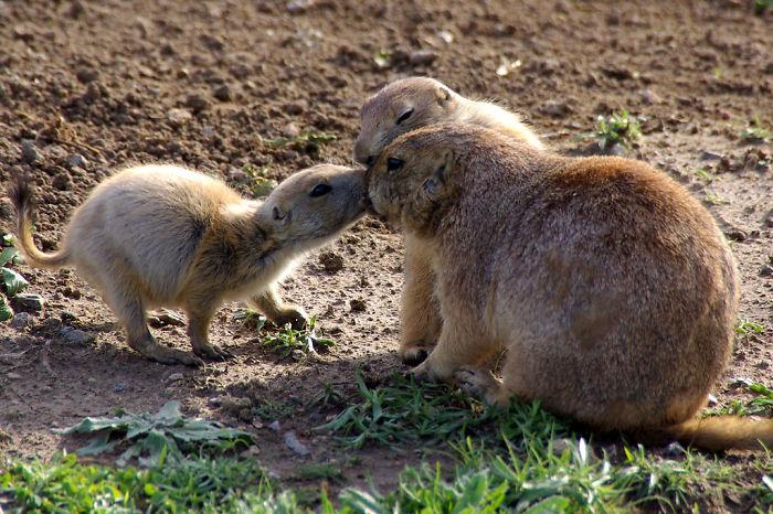 草原犬鼠通过亲吻来打招呼.jpg