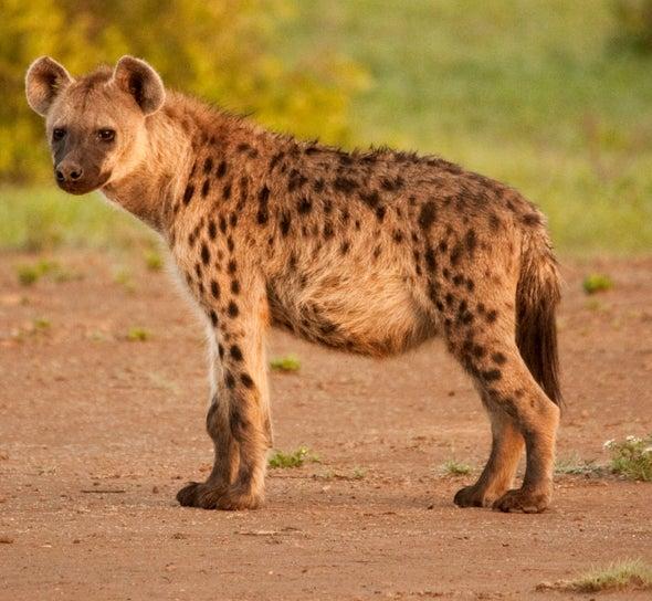 斑點鬣狗.jpg