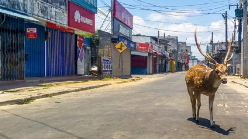 人类隔离数日后野生动物开始现身城市.jpg