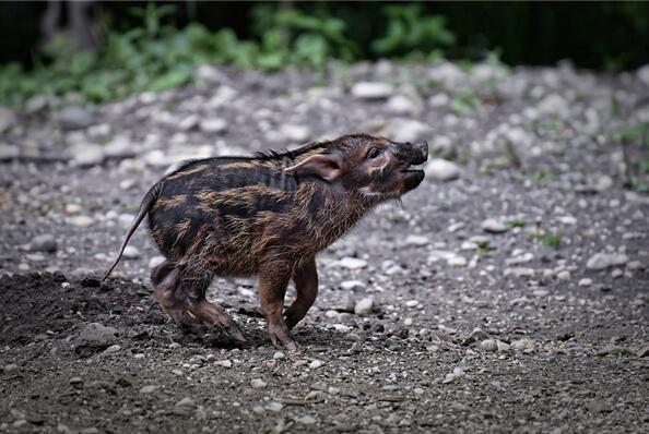 疫情或致世界最小稀有野猪灭绝.jpg