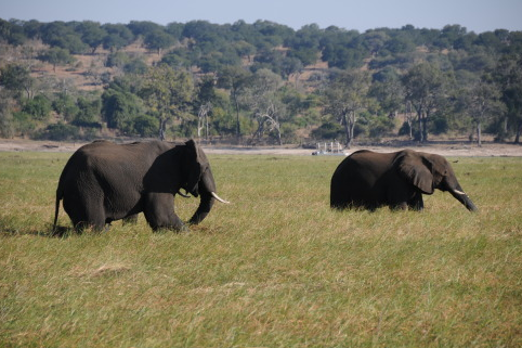 博茨瓦纳大象神秘死亡与饮水有关.jpg