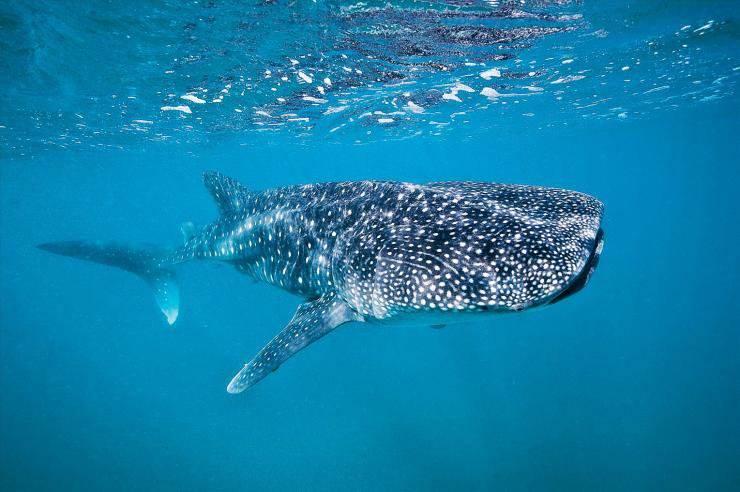 雌性鲸鲨较雄性生长速度慢但体型大.jpg