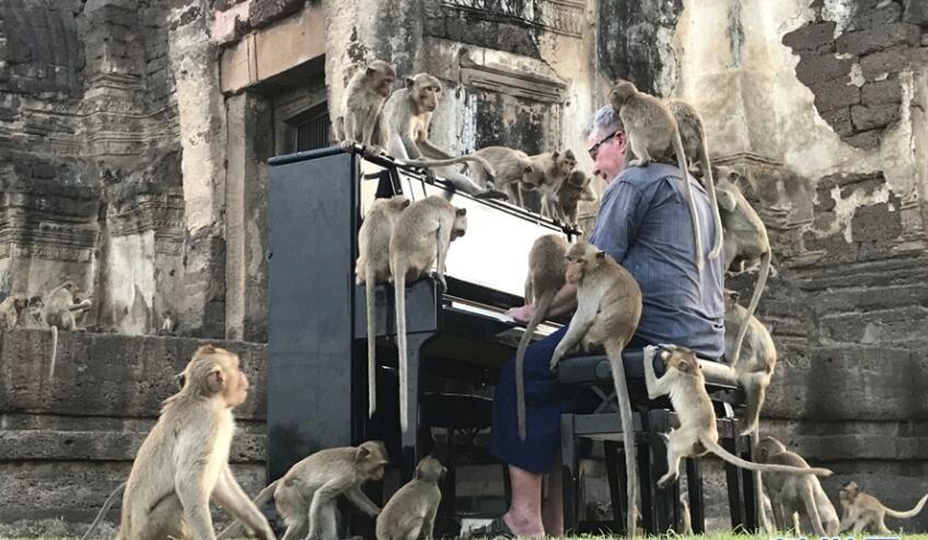 英国音乐家为猴子弹钢琴.jpg