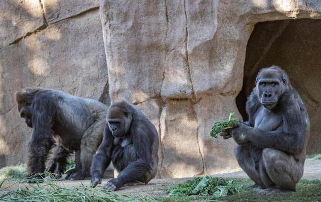 美国圣地亚哥动物园9只类人猿接种新冠疫苗.jpg