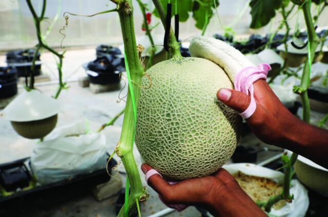 马来农场用音乐和按摩种植日本甜瓜.jpg