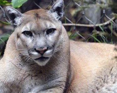 国家地理:佛罗里达美洲狮的回归