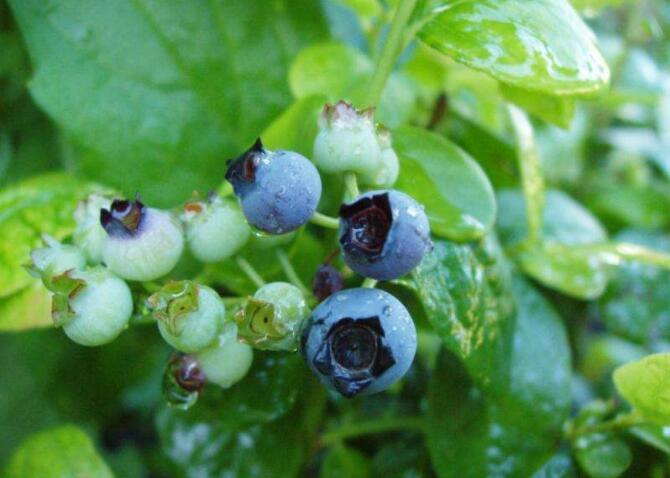 气候变化影响缅因州的蓝莓生长.jpg