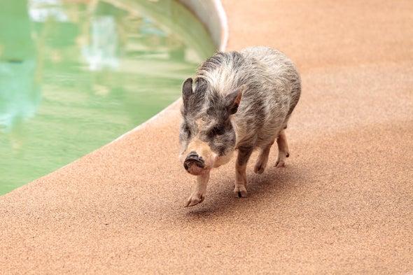 宠物猪.jpg